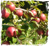 Wild about apples