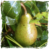 Wild about pears image