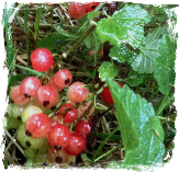 Wild about redcurrants image